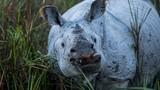 Những hình ảnh gây ám ảnh về loài tê giác