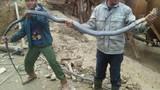 Hãi hùng cảnh vây bắt rắn hổ mang dài hơn 3m