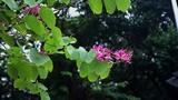 Ảnh: Hoa ban Tây Bắc mới trồng nở giữa mùa đông Hà Nội