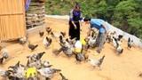 Thất nghiệp về núi nuôi gà đen lại thành triệu phú