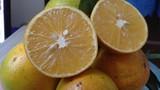 Cách hay phân biệt cam Cao Phong xịn và cam Trung Quốc