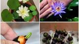 Dân Hà Nội mê mẩn hoa sen mini 7 màu giá cực chát