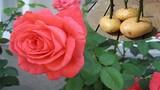 Tuyệt chiêu trồng hoa hồng siêu lớn bằng... khoai tây