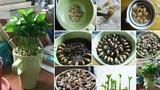 Tuyệt chiêu trồng chanh bằng hạt lên cây ưng ý