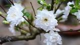 5 loại hoa mai tuyệt đẹp để chơi Tết