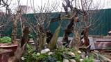 Cận cảnh đào lũa cổ quái chơi Tết trên phố Hà Nội