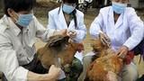 Trưởng ban thú y bị nhiễm cúm A H5N1