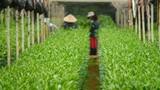 Quy trình trồng hoa ly cực độc ở Đà Lạt