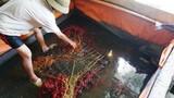 Kinh hãi lươn được tẩm thuốc tránh thai để béo vàng