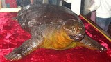 Tiết lộ thủ phạm sát hại cụ Rùa ở đền Ngọc Sơn