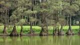 Cây thủy tùng Việt Nam hàng hiếm thế giới sắp tuyệt chủng