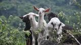 Đại gia Ninh Bình săn dê rừng sạch làm đặc sản ăn Tết