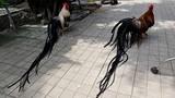 Cặp gà Nhật Bản đuôi dài như phượng hoàng chơi Tết ở Việt Nam