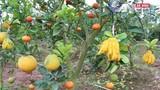 Tận mắt vườn cây 9 loại quả của lão nông Hà Nội
