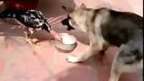 Điều gì xảy ra khi gà chọi và chó tranh giành thức ăn?