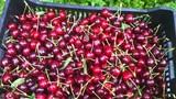 Trái cherry rụng như mưa sau màn rung lắc của nông dân Mỹ