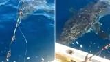 """Cá mập trắng dài 5m dọa người câu cá """"xanh mật"""""""