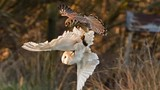 Chim cắt cướp trắng trợn mồi ngon của chim lợn