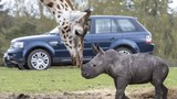Tê giác mới chào đời bất ngờ kết thân hươu cao cổ