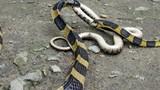 Ảnh động vật tuần: Rợn người rắn cạp nong quyết chiến