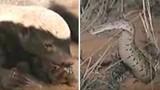 Rùng mình kịch chiến giữa lửng và rắn độc châu Phi