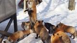 Mê đắm hình ảnh loài cáo đỏ hoang dã ở Nhật Bản