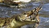 Cá sấu khổng lồ xẻ thịt linh dương theo bạn tình vượt sông