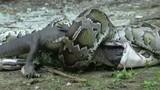 Ảnh động vật tuần: Trăn khổng lồ đại chiến, nuốt chửng cá sấu