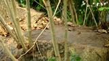 Chuyện ly kỳ quanh hai cây sưa khủng có giá 150 tỷ ở Hà Nội
