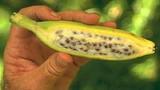 Ngỡ ngàng những giống chuối khổng lồ kỳ quặc nhất hành tinh