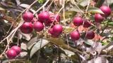 Những siêu quả đắt đỏ trồng thành công ở Việt Nam