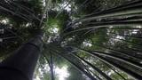 Trồng rừng trúc sào đẹp như trong phim để hốt bạc