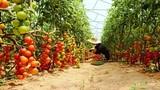 """""""Lạc trôi"""" giữa vườn cà chua sạch siêu trái ở Việt Nam"""