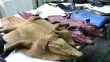 Hình ảnh rùng rợn khó tin trong trang trại nuôi cá sấu