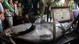 Cận cảnh cá ngừ vây xanh lớn nhất Việt Nam giá 55 triệu