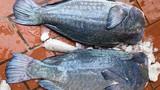 Đua nhau góp tiền mổ xẻ cá mó gù khổng lồ kỳ dị