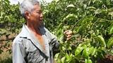 Táng tận lương tâm: Lừa nông dân trồng chanh dây dỏm rồi biến mất