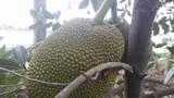 Tận mục vườn mít Thái tiền tỷ toàn quả khổng lồ