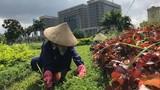 Ảnh: Công nhân vất vả dẹp rừng cỏ ở đại lộ Thăng Long