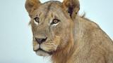 Kinh dị sư tử sổng chuồng lang thang giữa phố Dubai