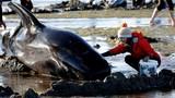 Người New Zealand đổ xô ra biển giải cứu cá voi mắc cạn
