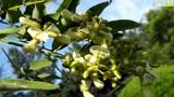 Tác dụng của Hoa hòe đối với bệnh tim mạch, mỡ máu