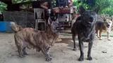 Hòa Bình: Lạ kỳ chú chó có bàn chân to như hải cẩu