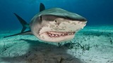 Kết đắng khi cả gan tóm đuôi cá mập hổ