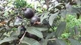 Phát sốt: Trồng giống ổi trái xanh lại ra quả màu tím