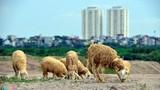 Ngắm đàn cừu nhởn nhơ ở vùng ven Hà Nội