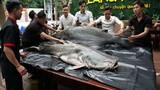 """""""Thủy quái khủng"""" hơn 200 kg xuất hiện gây xôn xao Đà Nẵng"""