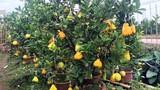 Độc đáo cây cảnh có nhiều loại quả đắt giá dịp Tết