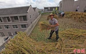Trồng lúa trên mái nhà cao tầng, thu 115 kg gạo