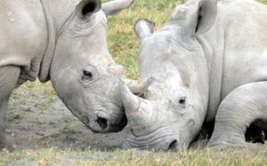 Sừng tê giác gây độc